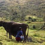 Nancy con mucca